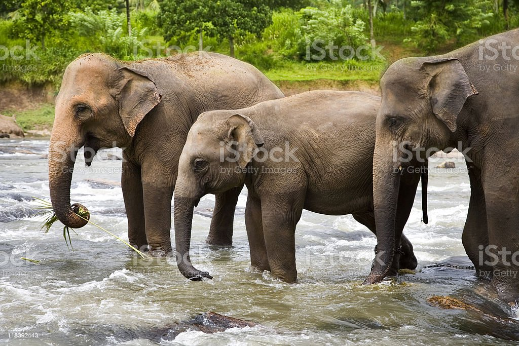 Elephants royalty-free stock photo