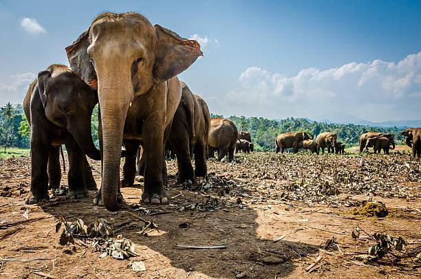 Elephants Pinnawala Elephant Orphanage is an orphanage, nursery and captive breeding ground for wild Asian elephants located at Pinnawala village.  yala stock pictures, royalty-free photos & images