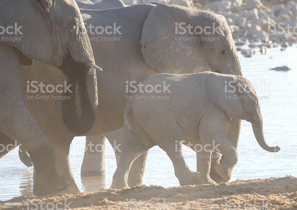 Elephants royalty-free stock photo