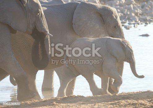 Elephants Stock Photo & More Pictures of Animal Wildlife
