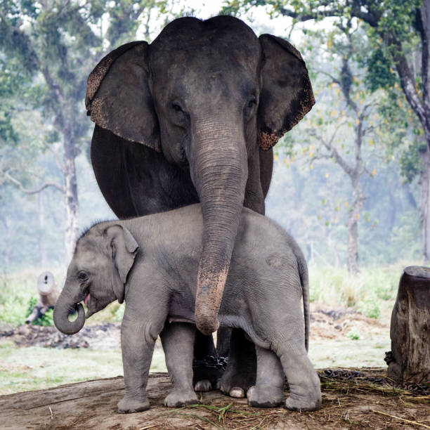 Elephants Elephant breeding center Khorsor in the natural park of Chitwan, Nepal animal family stock pictures, royalty-free photos & images