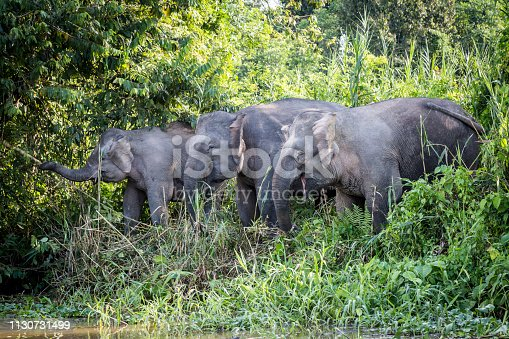Pygmy elephants eating on the banks of the Kinabatagan River on the island of Borneo, Malaysia