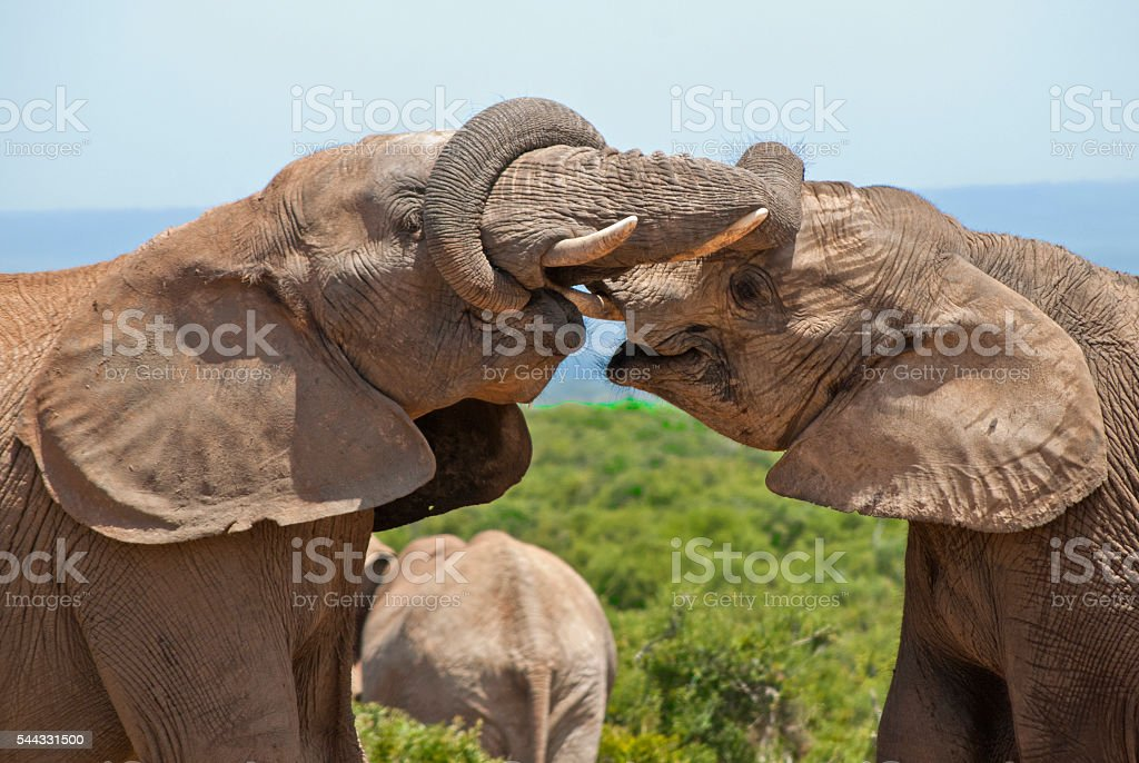 Elephants playing at Addo Elephant National Park, South Africa stock photo