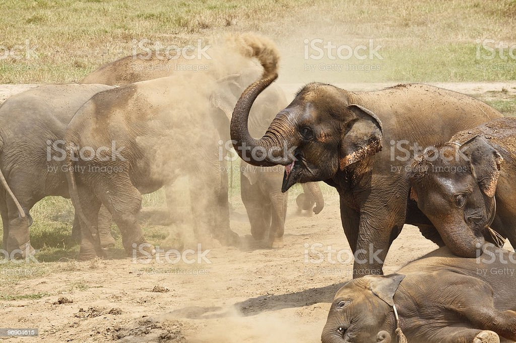 Elephants playing in the dust. royalty-free stock photo