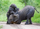 istock Elephants playing together in jungle 94975255