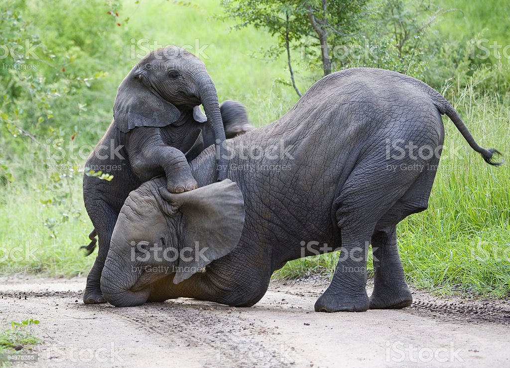 Elephants playing together in jungle stock photo