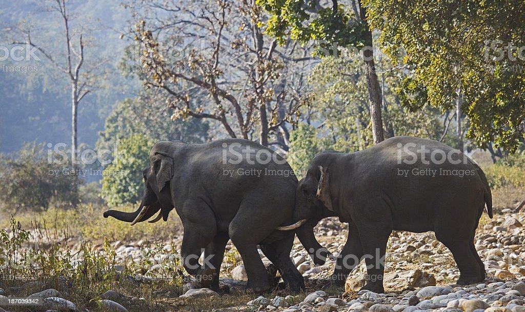 Elephants push stock photo