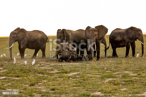 182061384 istock photo Elephants resting and covering calfs at Amboseli with water birds 965511362