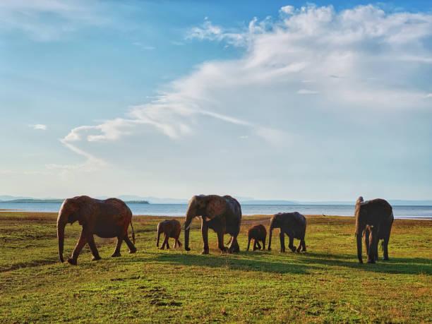 Elephants returning from  Lake Kariba,  Zimbabwe stock photo