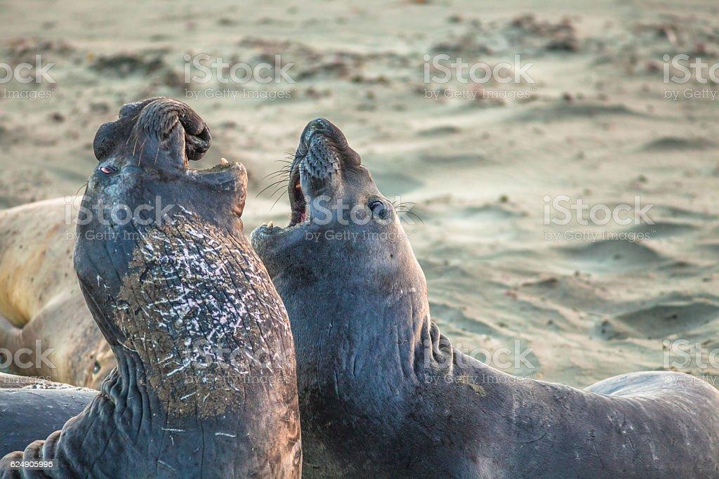 Elephants seal fighting stock photo