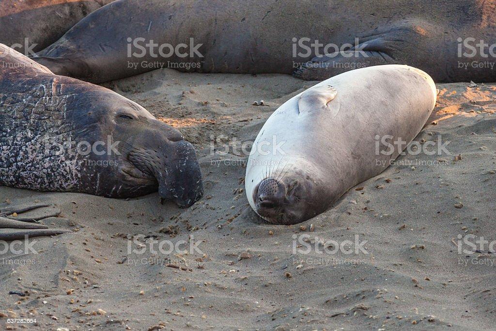 Elephants seal sleeping stock photo