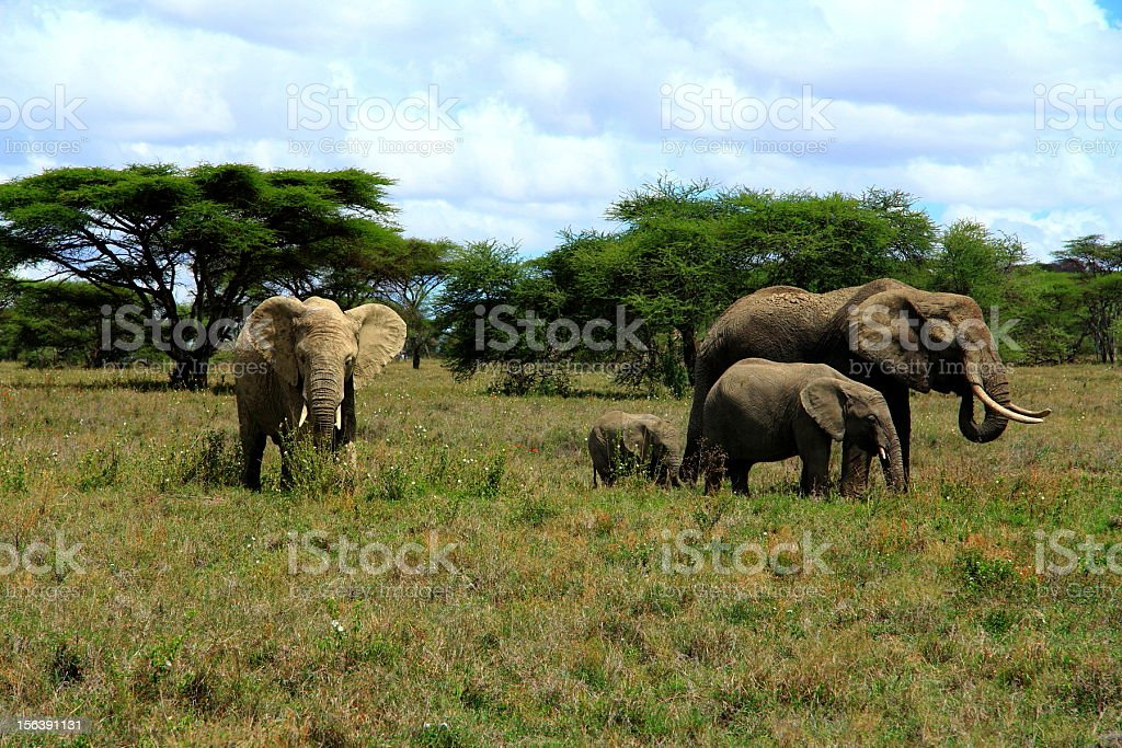 Elephants, Serengeti National Park, Tanzania stock photo