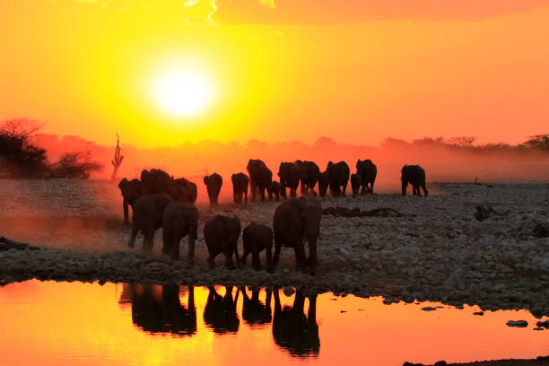 elefanten sonnenuntergang wasserloch reflexion big5 tierwelt afrika safari ansicht himmel - elefanten umriss stock-fotos und bilder