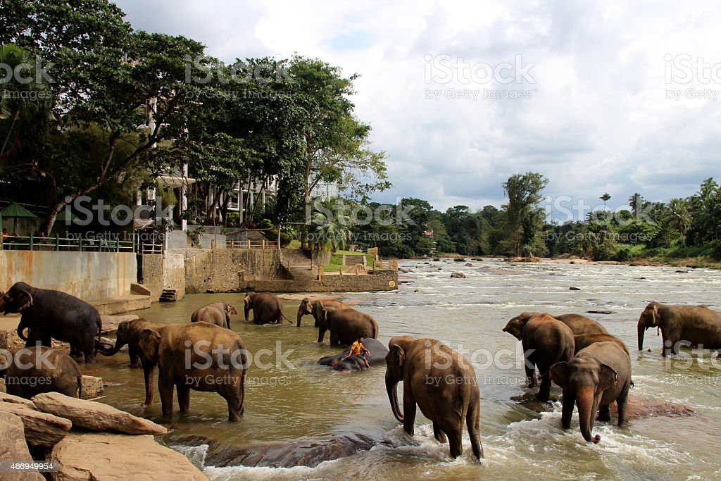 elephants swimming at the river on Sri Lanka stock photo
