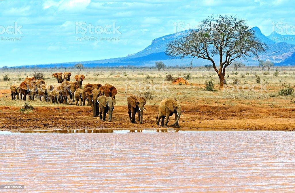 Elephants Tsavo East stock photo