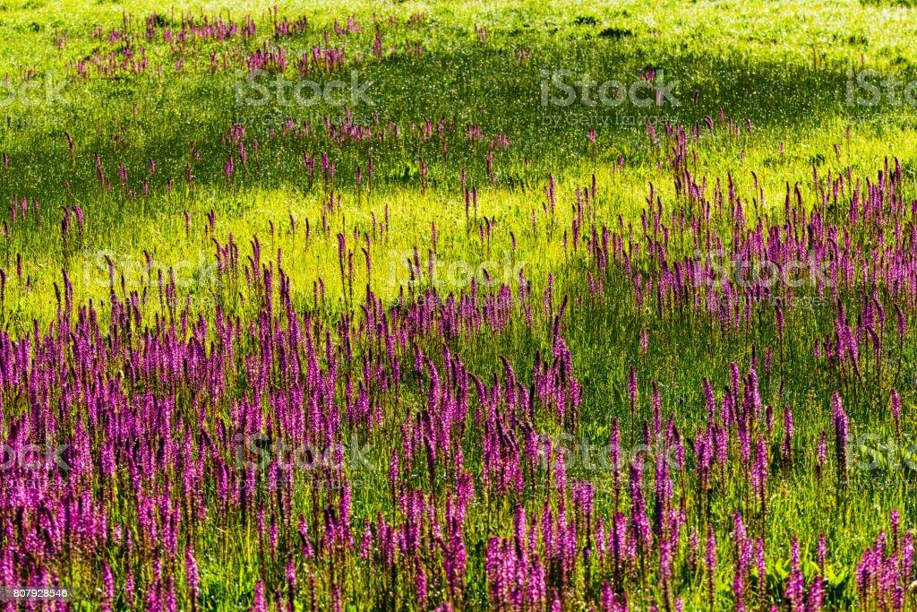 Elephant's Tusk Pink Mountain Wildflower stock photo