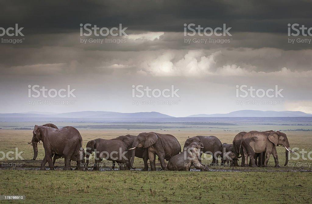 Elephants Understormy skies stock photo