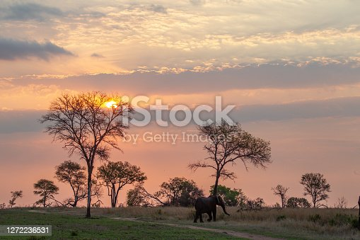 Elephants walking as the sun is about to set in the african bush.