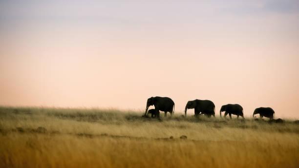 elefanten spaziergang bei sonnenuntergang - elefanten umriss stock-fotos und bilder