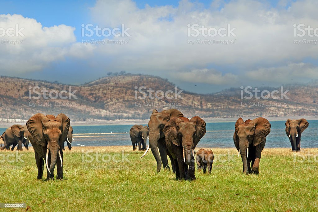 Elephants walking in Lake Kariba with cloudy sky stock photo