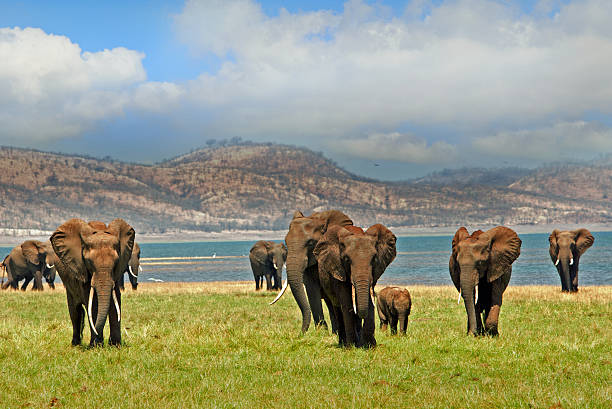 Elephants walking in Lake Kariba with cloudy sky – Foto