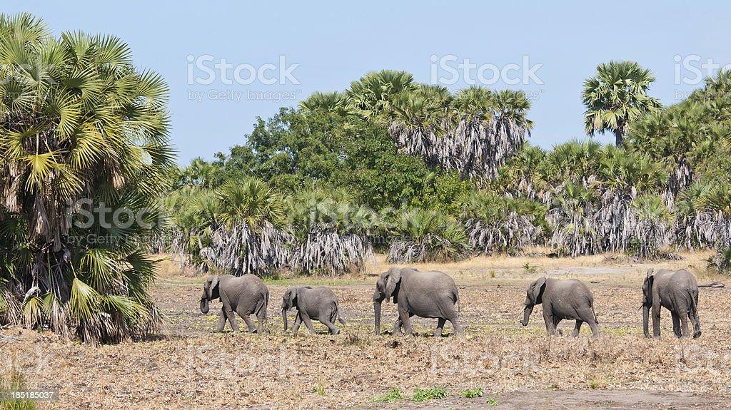 elephants walking in the jungle of tanzania stock photo