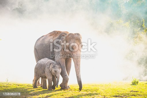 Elephants walking in the tropical rainforest rice field at sunrise