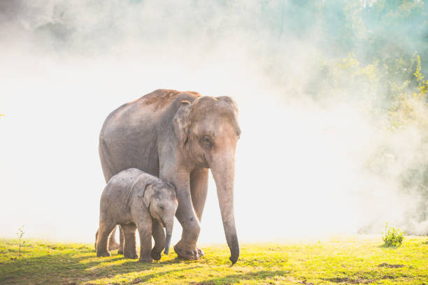 Elephants walking in the tropical rainforest rice field at sunrise stock photo
