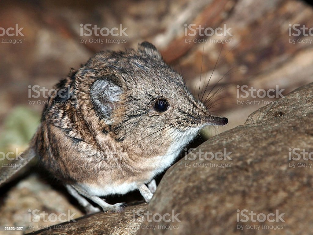 Elephant-shrew on stone stock photo