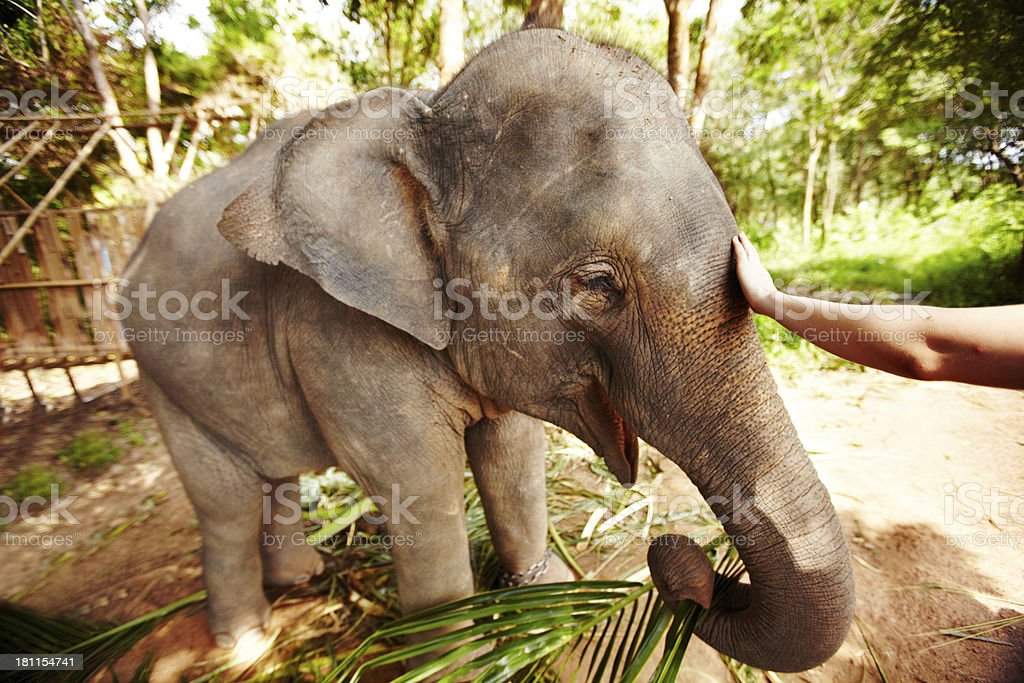 Elephas maxims indices stock photo