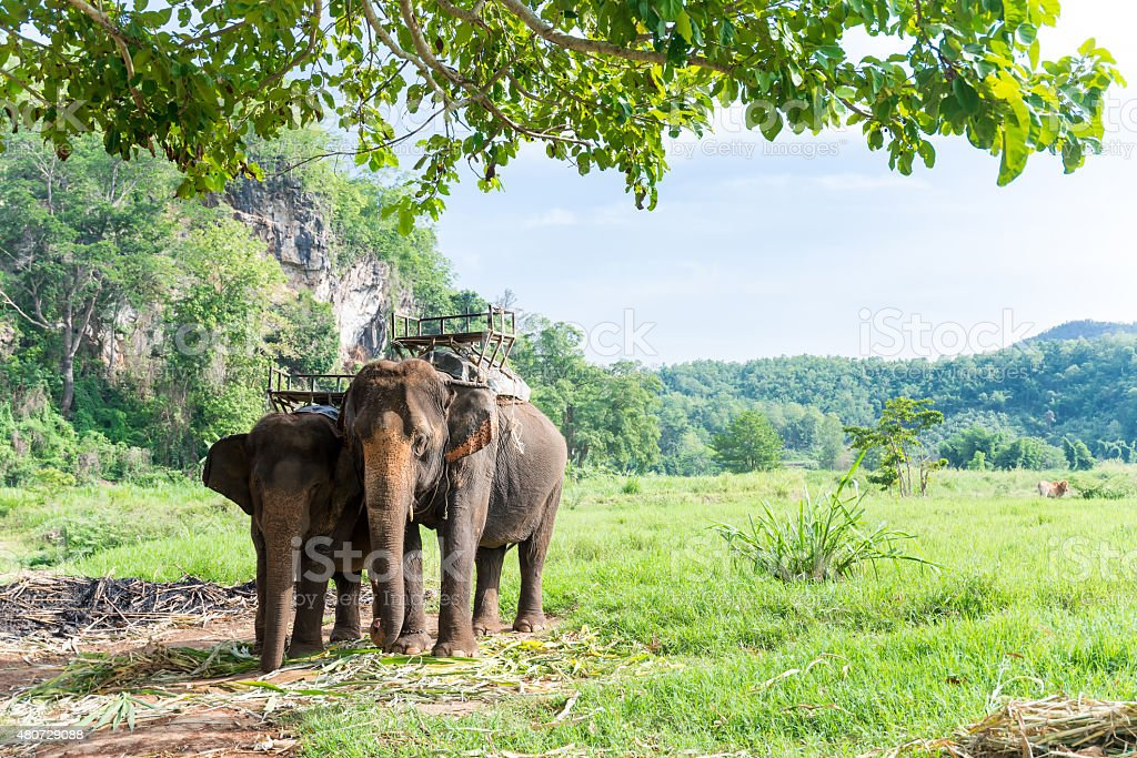 Elephas maximus indicus Cuvier to carry for tourist jungle trail stock photo
