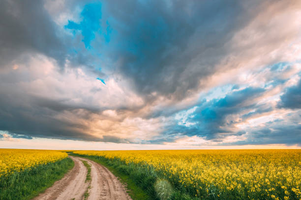 Elevated View Dramatic Sky With Fluffy Clouds On Horizon Above Rural Landscape Blooming Canola Colza Flowers Rapeseed Field. Country Road. Spring Field Agricultural Landscape stock photo