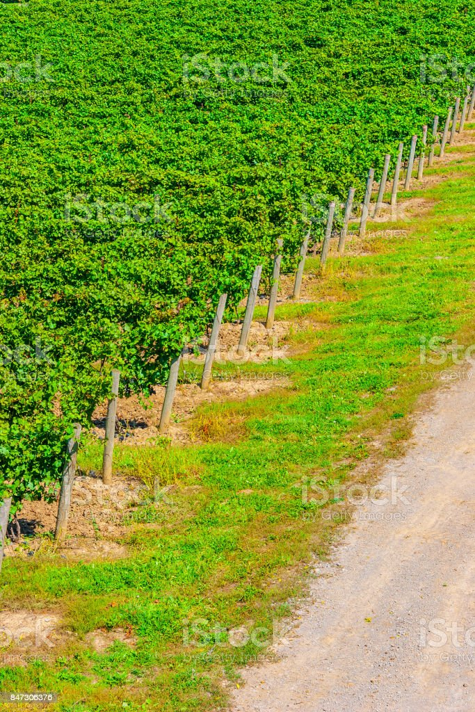 Elevated View of Rows of Lush Grape Vines in a Vineyard with Wooden Posts - foto stock