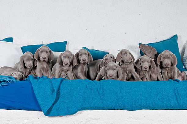 eleven weimaraner welpen - large group of objects stock photos and pictures