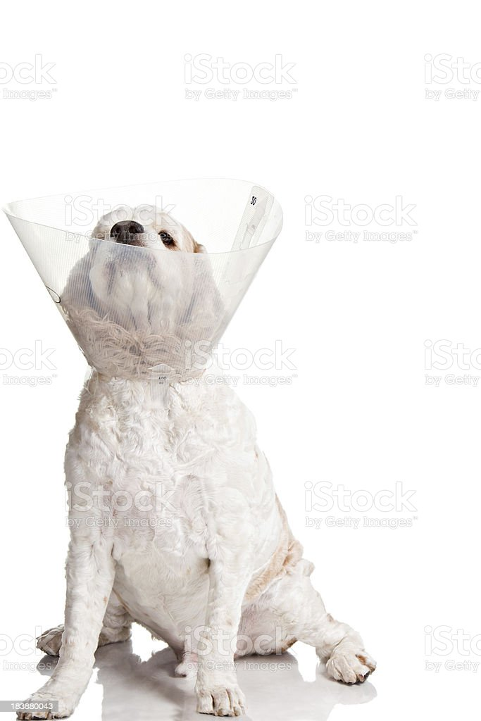 Elizabethan Collar stock photo