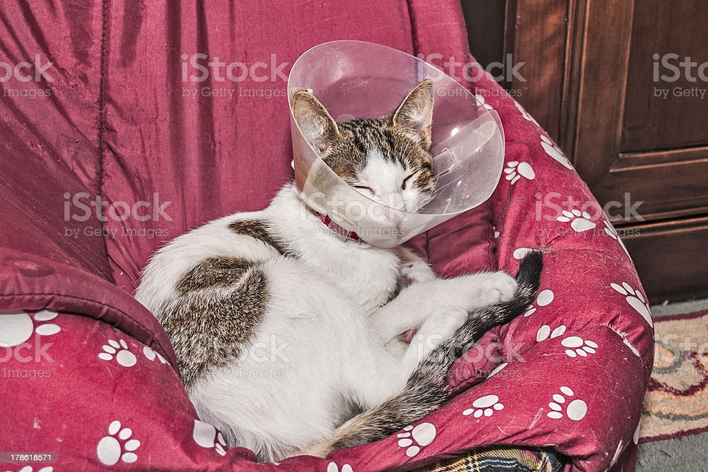 Elizabethanian collar on a cat royalty-free stock photo