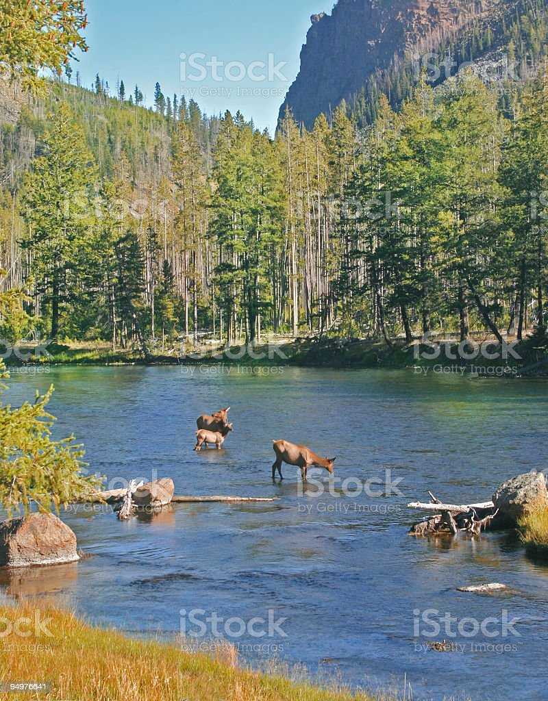 Elk and the Madison River royalty-free stock photo
