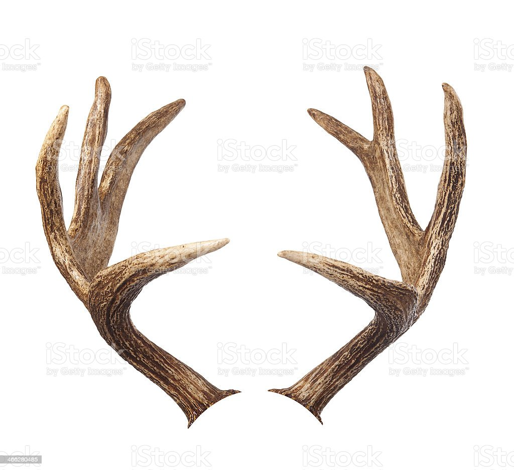 Elk antlers. Isolated on white stock photo
