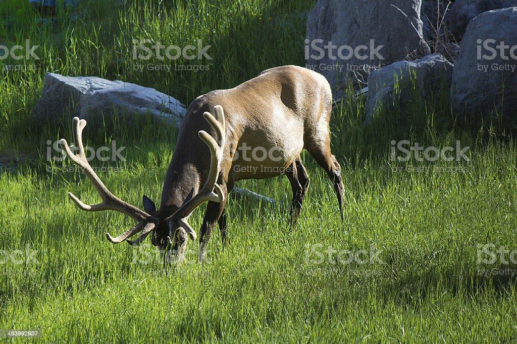 Elk at Jasper National Park royalty-free stock photo