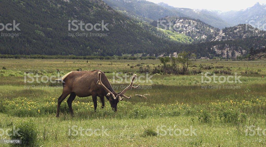 Elk at Rockies stock photo