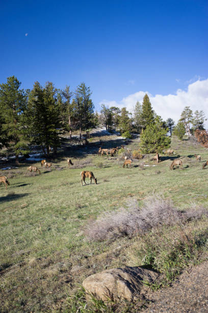 Elk at Rocky Mountain National Park Elk grazing at Rocky Mountain National Park rocky mountain national park stock pictures, royalty-free photos & images