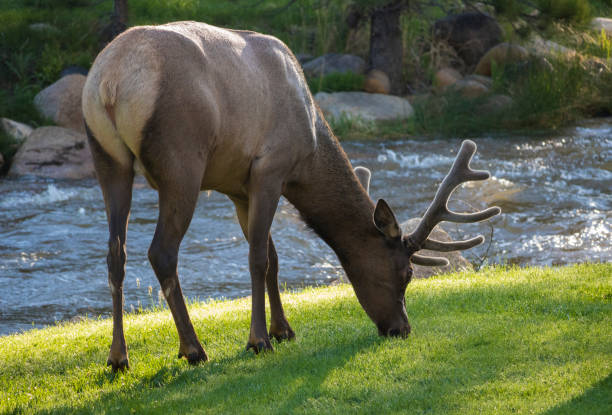 Elk at Rocky Mountain National Park Elk at Rocky Mountain National Park rocky mountain national park stock pictures, royalty-free photos & images
