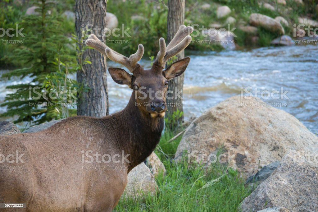 Elk at Rocky Mountain National Park stock photo