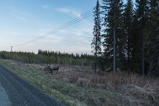 elk att the roadside in the lappish countryside stock photo
