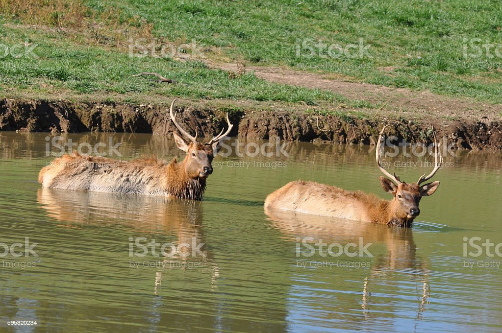 Elk bath A pair of elk taking a bath. Animal Wildlife Stock Photo