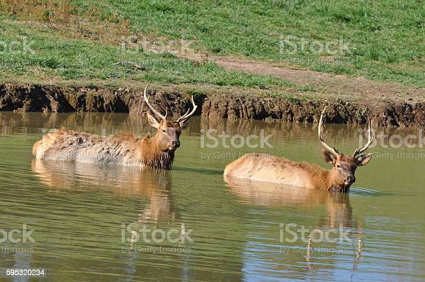 Elk Bath Stock Photo - Download Image Now