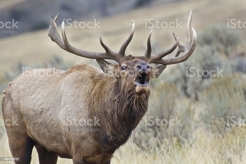 Elk Bugle stock photo