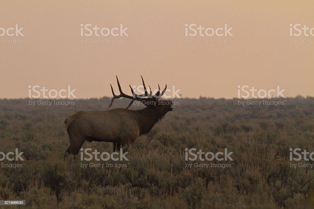 Elk Bugling in smoke stock photo