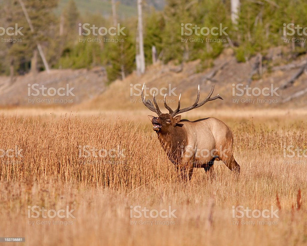 Elk Bugling stock photo