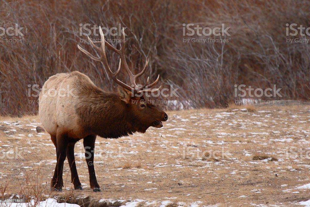 Elk Bull Bugling stock photo